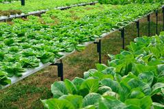 Green lettuce, cultivation hydroponics green vegetable in farm Stock Photos
