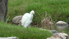White heron cleaning itself - stock footage