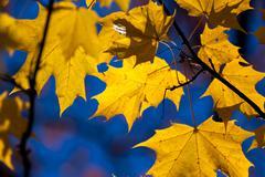 Autumn yellow maple leaves Kuvituskuvat