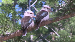 Two kookaburras sitting in a tree Stock Footage