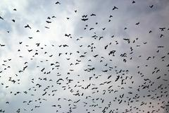 Large flock of crows Stock Photos