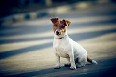 Young Jack Russel Terrier sitting Stock Photos