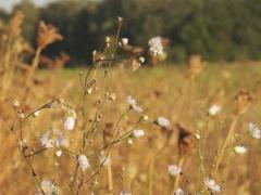Ukrainian nature, daisy Stock Footage