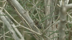 Cactus doger cicada making sound Stock Footage