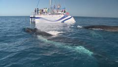 Humpback Whales swimming towards whale watching boat Stock Footage
