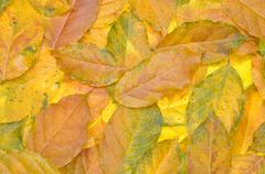 Discolored autumn leaves wisteria - stock photo