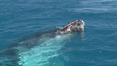Close up of humpback whale relaxing in clear blue water Stock Footage