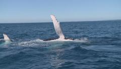 Curious Humpback Whales playing in front of boat Stock Footage