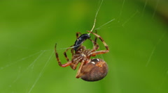 4K Orbweaver (Neoscona crucifera) Spider and Prey 1 Stock Footage