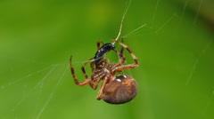 Orbweaver (Neoscona crucifera) Spider and Prey 1 Stock Footage