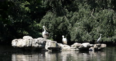 UHD 4K Grey Heron Bird Sitting Rock White Pelicans Lake St James Park London UK Stock Footage