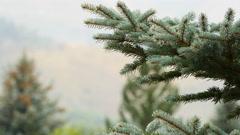 dew on a spruce tree 4k - stock footage
