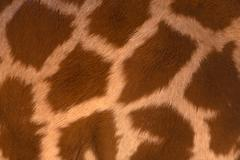 Real life giraffe pattern Stock Photos