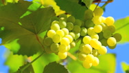 Stock Video Footage of Bunch of grapes with a blue sky in the background.