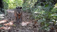 Tapir Running in a Jungle Stock Footage