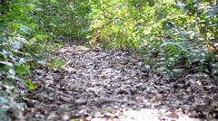 Tapir Walking through a Jungle Stock Footage