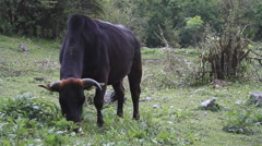 Buffalo cow grazing in the mountains, Annapurna circuit in Nepal Stock Footage