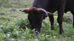 Buffalo cow grazing in the mountains, Annapurna circuit Stock Footage