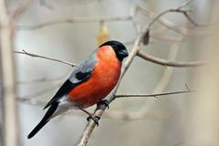 bullfinch in forest - stock photo