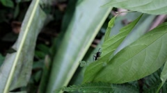 Large ant on leaf in rainforest Stock Footage