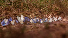 Blue landed butterflies scatter when human leg passes by Stock Footage