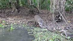 Tapir Attacking a Canoe Stock Footage