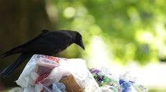 Black Bird Crow Raven Sitting on Full Garbage Bags Trashcan Dumpster Overloaded Stock Footage