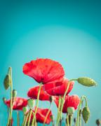 floral background in vintage style for greeting card. wild poppy flowers - stock photo