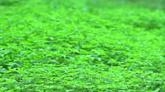 Field of stinging nettles. Stock Footage
