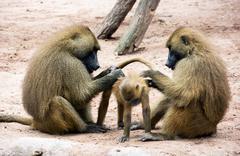 guinea baboon family (papio papio) - stock photo