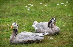 The bar-headed goose (anser indicus) Stock Photos