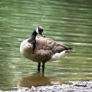 the canada goose (branta canadensis) - stock photo