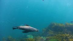 Seals in Port Phillip Bay Australia HD Stock Footage