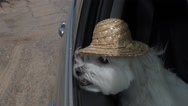 Stock Video Footage of 4K Dog Hat Jaunty Car Ride