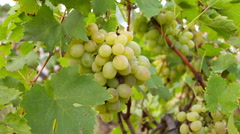Closeup on bunch of grapes being cut from row Stock Footage