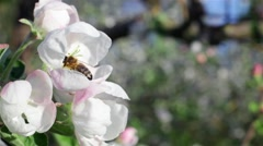 Bee On Apple Tree Flower Stock Footage