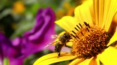 Bee pollinate yellow flower Stock Footage