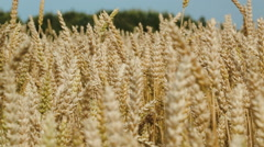 Wheat swinging in the wind Stock Footage