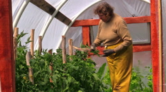 Grandma gardener woman tie tomato plants in greenhouse - stock footage