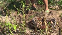 Farmer woman harvest dig natural potatoes. Left side sliding Stock Footage