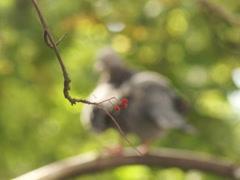 Ukrainian nature, dove on a branch Stock Footage