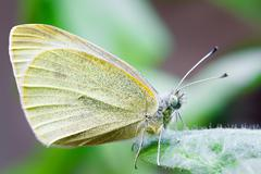 Butterfly pollinating a flower. pieridae Stock Photos