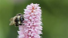 Bumble Bee Crawls Round a Pink Flower Collecting Pollen Stock Footage