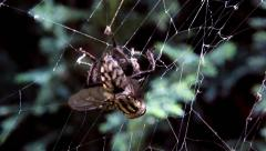 A fly caught in a spider's web Stock Footage