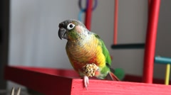 Stock Video Footage of Bird:  Yellow Sided Green Cheek Conure 2