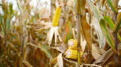 Ripe maize corn on the cob Stock Footage
