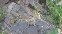 Cute curious monkeys playing on the rock in Ella, Sri Lanka Stock Footage