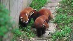 Three Red Pandas Walk Along Forest Path 4K Stock Footage