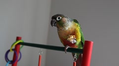 Bird:  Yellow Sided Green Cheek Conure 4 - stock footage
