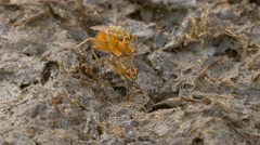 Yellow dung fly or golden dung fly (Scathophaga stercoraria) Stock Footage